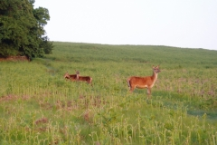 The deer are not used to seeing people at dawn
