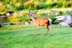 Another surprised deer