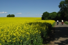 Rape fields, near Nosely