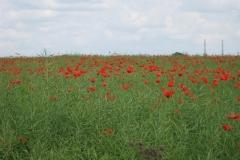 Poppy field, Nebsworth