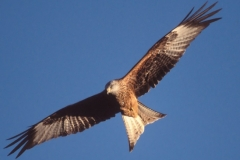Red Kite - Chilterns