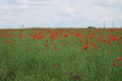 Poppy field, Nebsworth